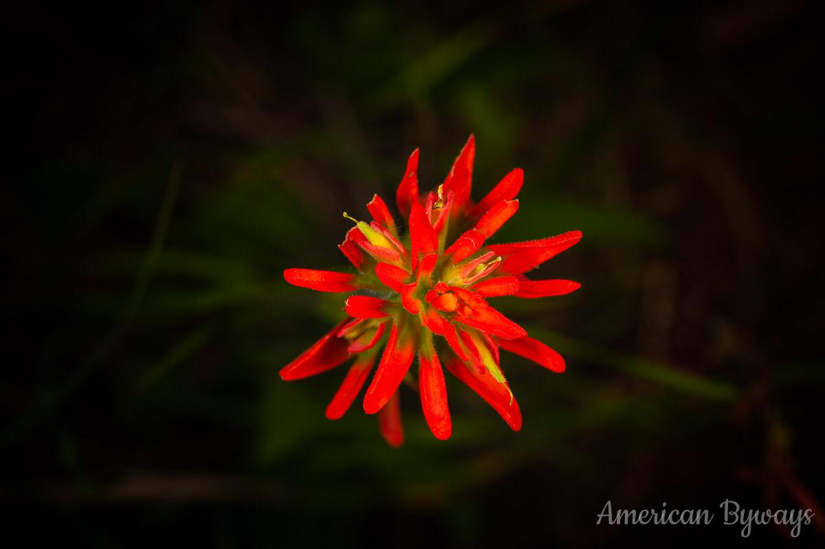 Scarlet Indian Paintbrush (Castilleja coccinea)