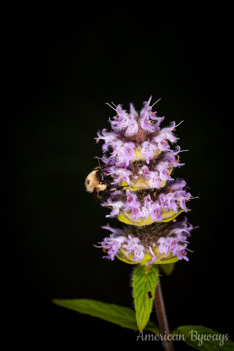 Downy Wood Mint (Blephilia ciliata)
