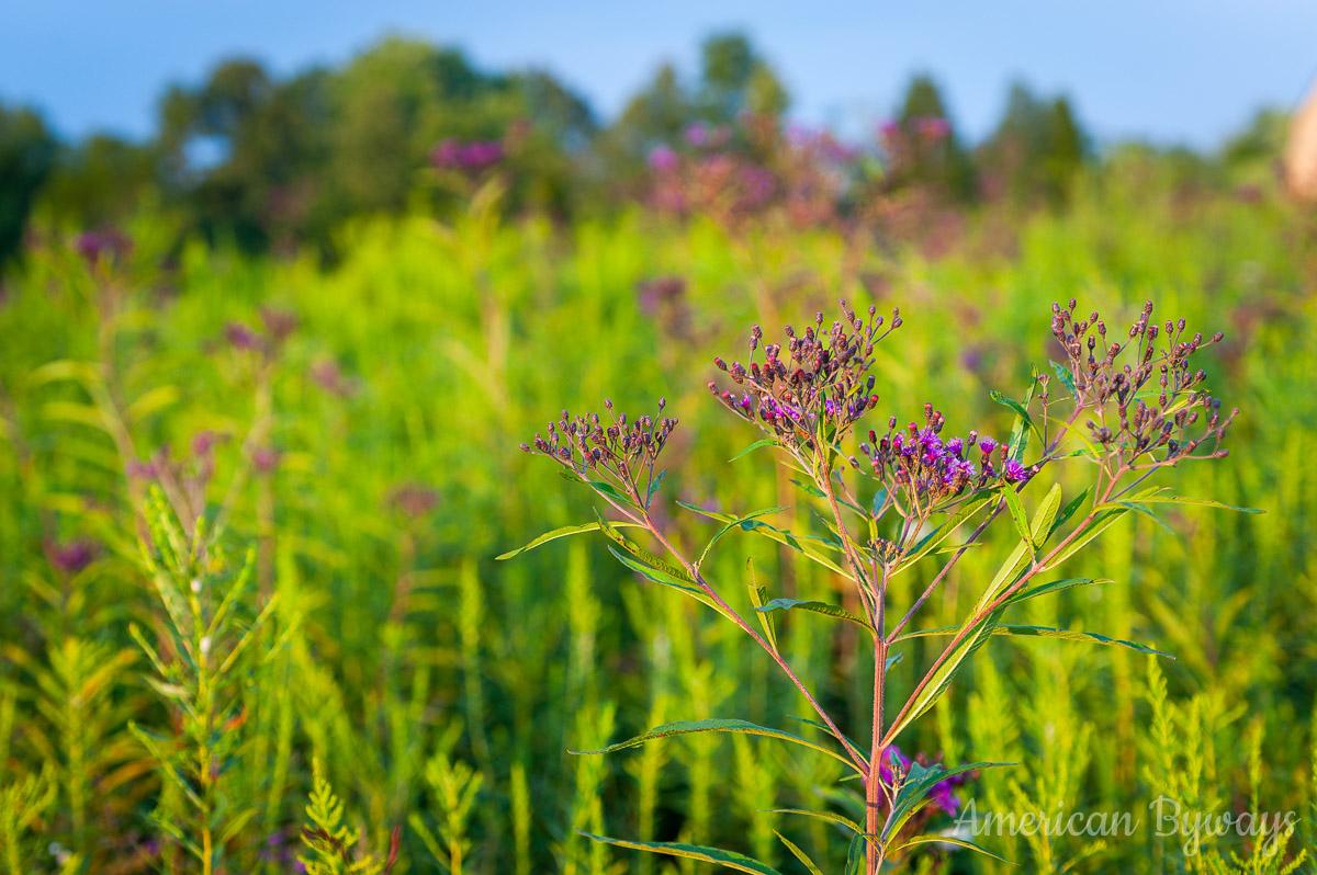 Giant ironweed (Vernonia gigantea)
