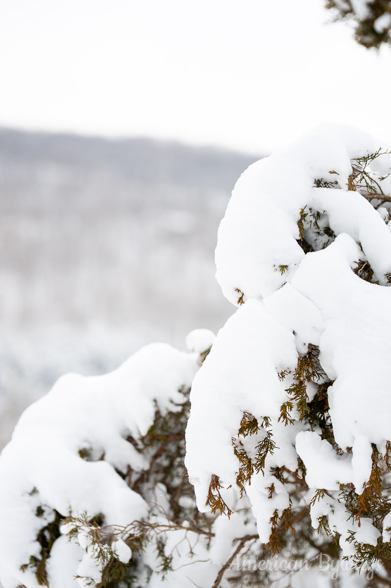 Heavy Snow on Pine