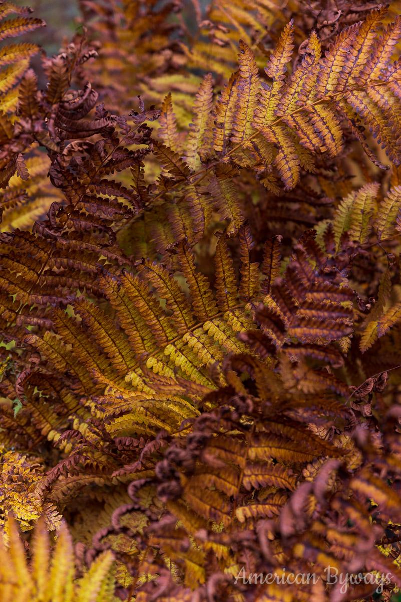 Dolly Sods Eastern hay-scented fern