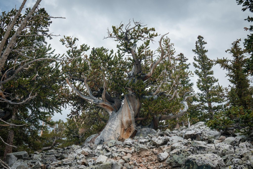 ancient bristlecone pine in great basin national park