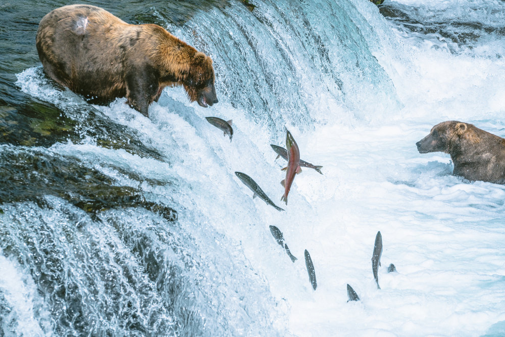 When Brooks Falls started to form, a genetic split developed in the salmon between those who could make it up the falls and those who couldn