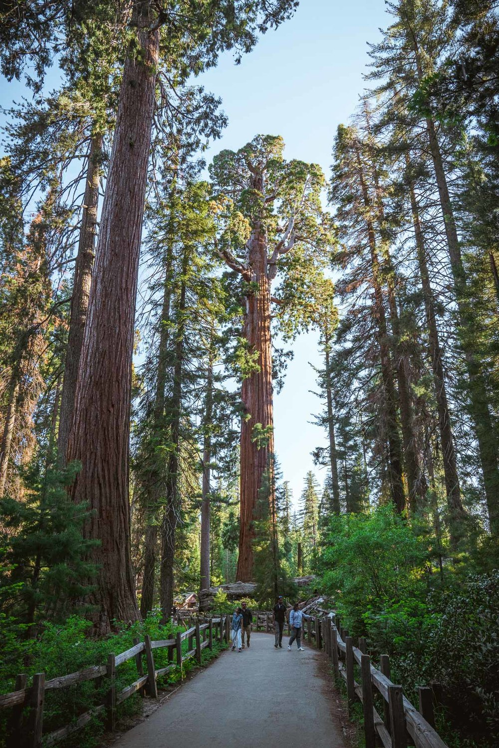 hiking through a sequoia grove