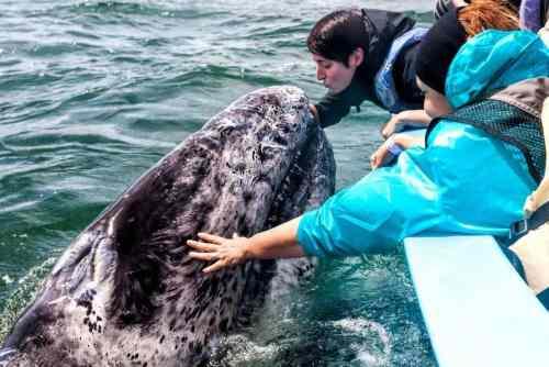 ¡La ballena gris está en México! Lugares de avistamiento en La Paz, BCS