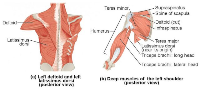 Muscles_that_Move_the_Humerus