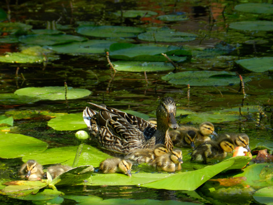 Duck and ducklings in the Caldwell Lily Pond (Credit: Susan Barsy)