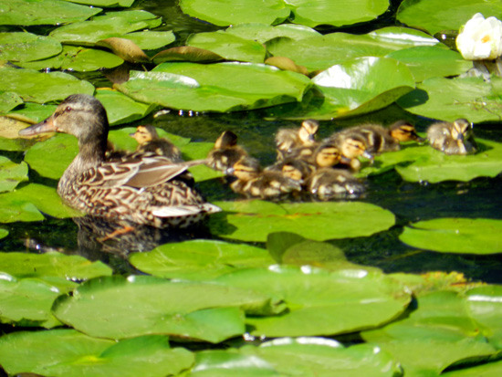 Duckling sitting on a lily pad on Chicago's Caldwell Pond (Credit: Susan Barsy)