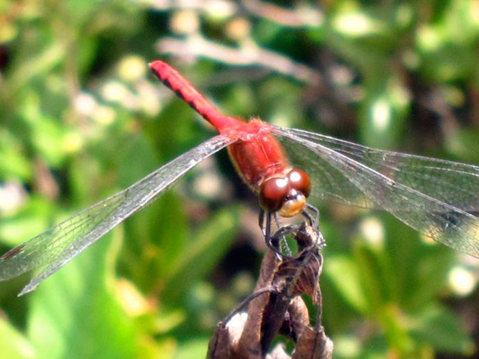 Bog dragonfly, © 2012 Susan Barsy