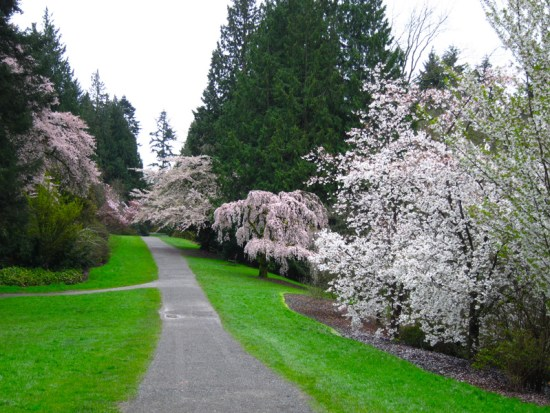 The path is flanked with elegant old blooming trees.