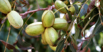 Pecan Growing on Tree
