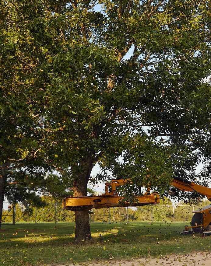 American pecan tree shaker harvest