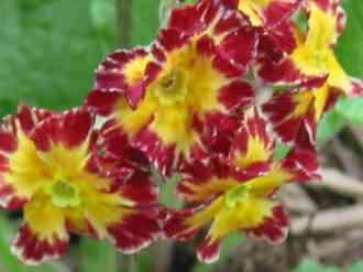 06polyanthus