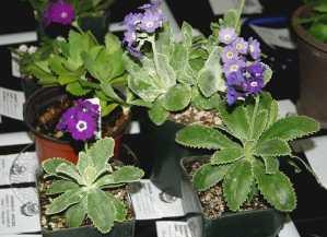 P. marginata