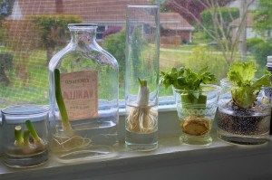 Scallions, celery and lettuce being regrown from scraps in the kitchen