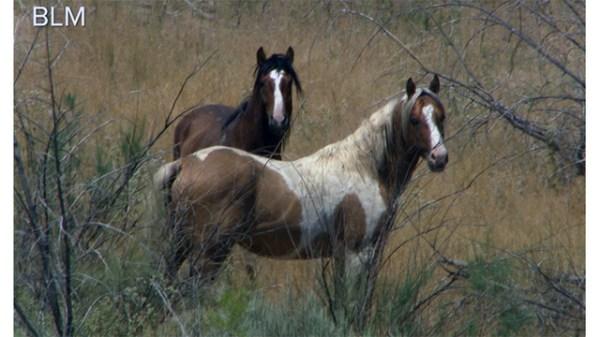 ITeam Nevada wild horses face uncertain future after