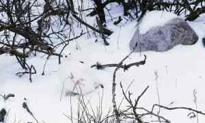 Photo of a white bird blending in with a snowy ground