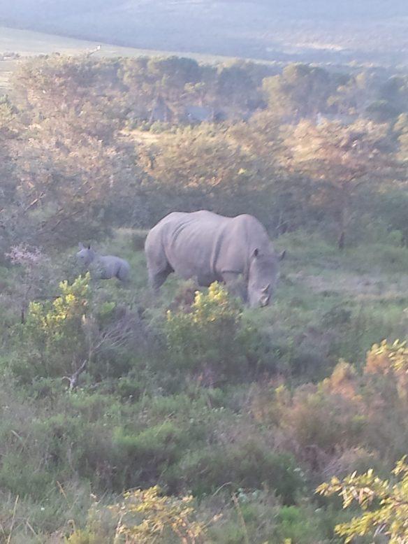 White Rhinocalf