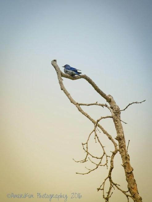 WesternBluebirdsf