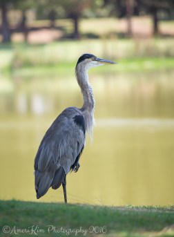 GreatBlueHeron2sf