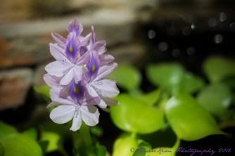 hyacinthsf