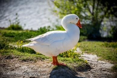 Eldo Goose1 SF