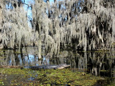 Swamp tour Lafayette Louisiana alligator spanish moss on trees