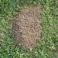 1 An Ant Hill In Argentina 2 The Queen Begins The New Colony When She Is Ready A Leaves Her Original And Sets Out To Begin Of