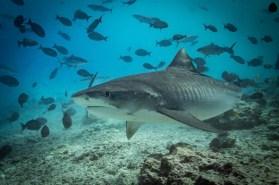 Maledivy_žralok