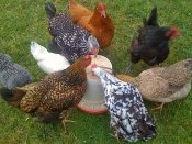 Photo of chickens eating from a feeder