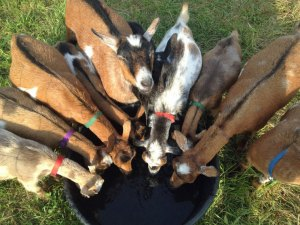 Photo of goats drinking at a circular trough