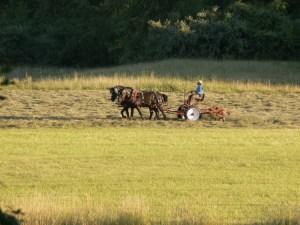 Photo of farmer using draft horses for harvesting hay