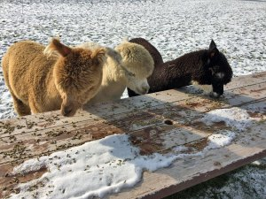 Photo of alpacas eating feed off a picnic table