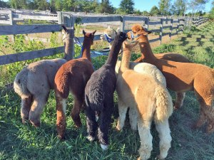 Photo of several alpacas standing near a fence