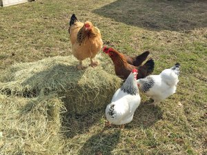 Photo of chickens standing around a hay bale