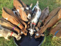 Photo of many goats drinking from a circular trough