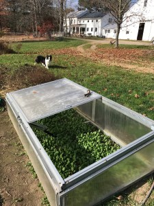 Photo of Cold Frames with Basil plants growing inside