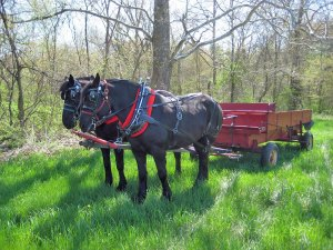 Photo of two draft horses hitched to a red wagon