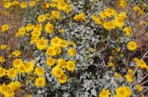 Desert marigolds up close