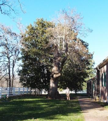 Nagy fa a ház mellett