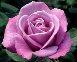 Rosa 'Cel Blau'