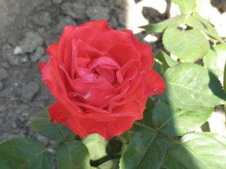 Rosa ' Galaty'