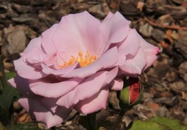 Rosa 'Soir d'automne'