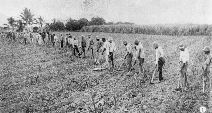 """Australian South Sea Islanders hoeing a cane field in the Herbert River region, Queensland, 1902"" Source: State Library Qld"