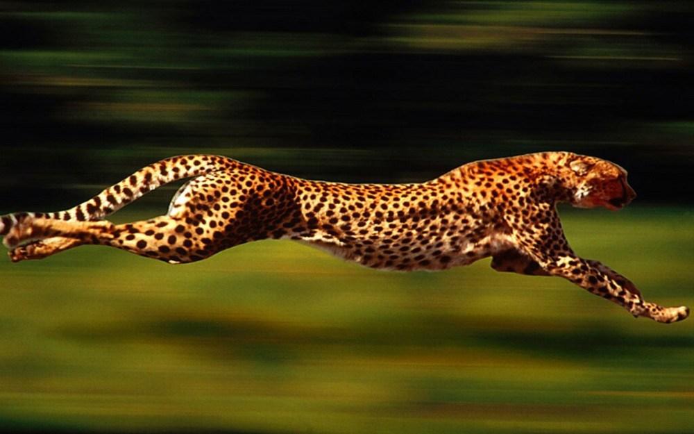leopardo-corre-1280x800