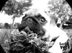 Como seu Pug enxerga?