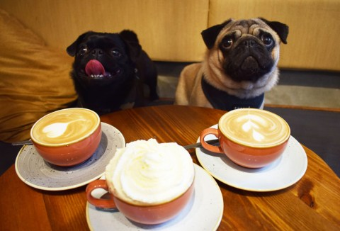 pop up pug cafe pugs