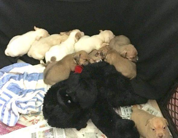 Manchitas Puppies