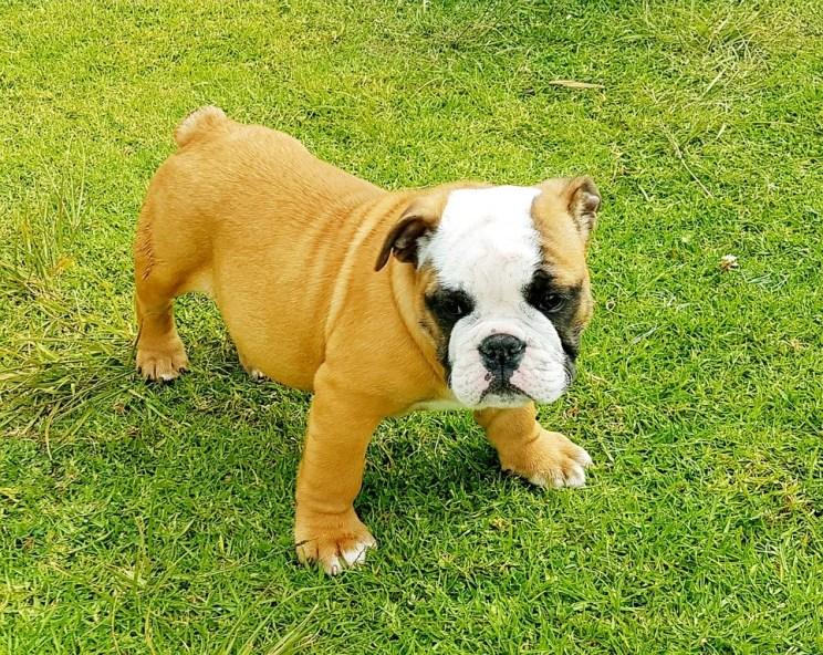 Cachorra Bulldog Inglès