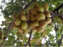 महुआ के फल